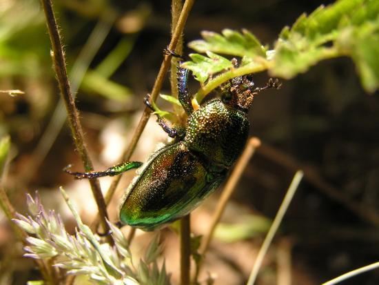 (medium size) christmas-beetle.jpg